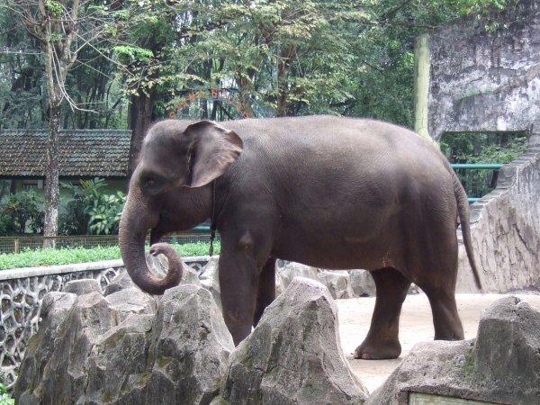 В зоопарк Флориды вернули сбежавшего слона Майкла Джексона