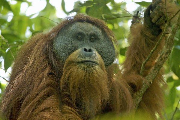 Самый старый орангутан в мире умер в Австралии