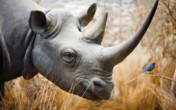 Сердце разрывается: Сеть взбудоражил трогательный поцелуй девочки и опасного носорога
