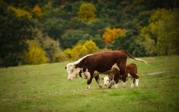 Корова считает, что она олень:  В США в лесу нашли корову, выросшую в стае оленей