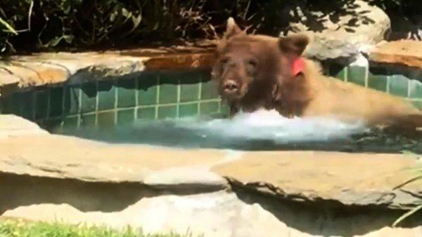 В США медведь-мажор пробрался в дом, искупался в бассейне и выпил коктейль