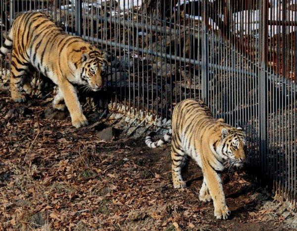 В Чехии нашли сбежавших из зоопарка опасных хищников