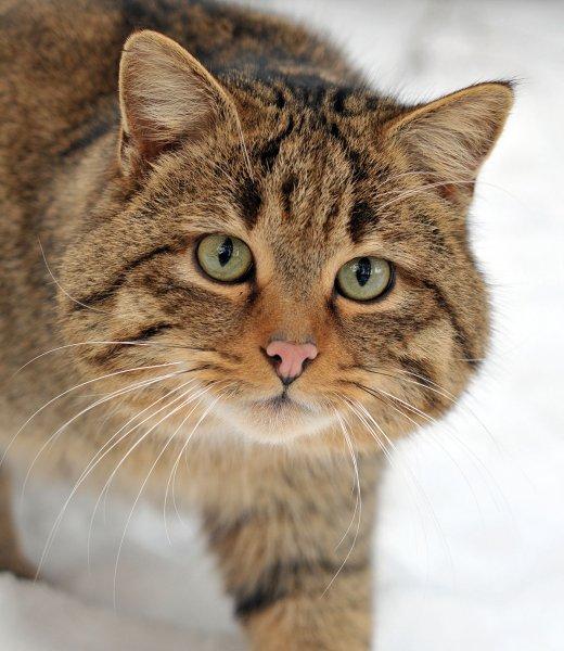 В горах Шотландии обнаружены два редчайших котёнка