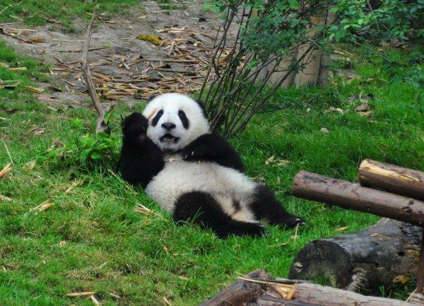 В заповеднике Китая панду забросали камнями ради развлечения