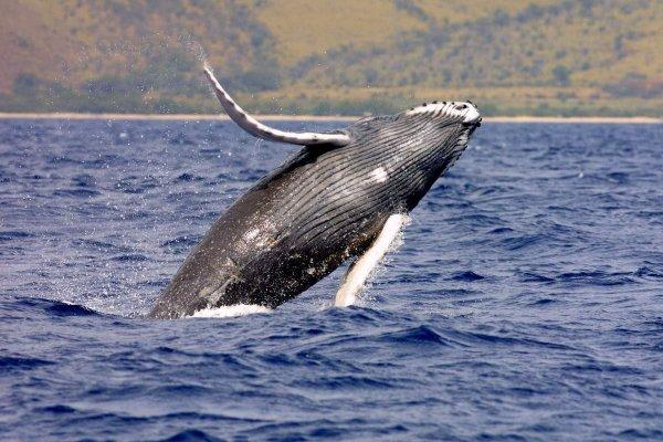 В США горбатый кит устроил невероятное шоу для туристов