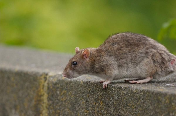 Прорастающее в теле крысы растение удивило пользователей Сети