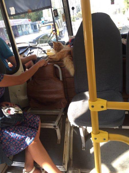 В Воронежском автобусе сфотографировали кота-кондуктора