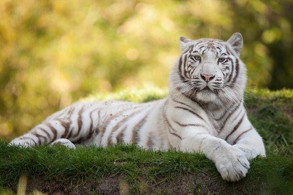 Белый тигр убил сотрудника зоопарка в Японии