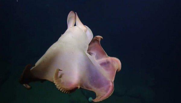 Ушастый осьминог с американского побережья попал в Сеть