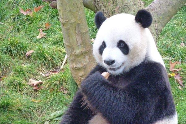 В Китае запретили фотографироваться с пандами с целью их защиты