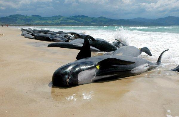 Более 140 дельфинов выбросились на берег в Новой Зеландии