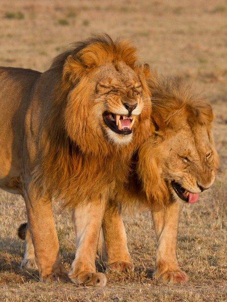 Смеющиеся львы из Кении вызвали восторг в Сети