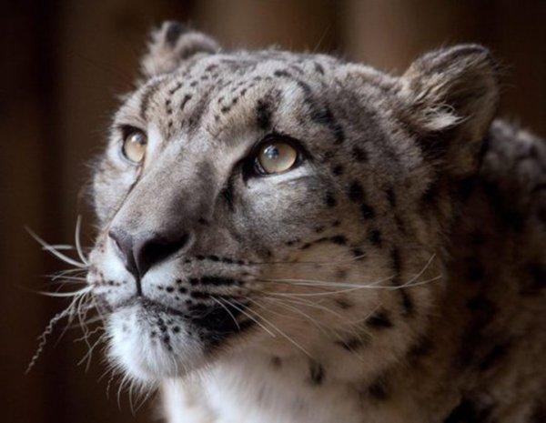 Снежного барса, сбежавшего из клетки, застрелили в британском зоопарке