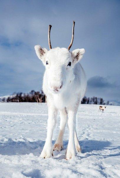 Фотограф в Норвегии сделал удивительные кадры редкого белого оленя