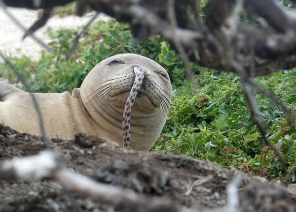 Гавайские учёные обнаружили тюленя с угрем в носу