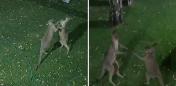 Братья Кличко отдыхают: Австралийские кенгуру устроили боксерский поединок