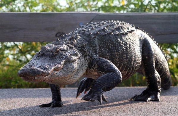 Аллигатор по кличке «Толстый папочка» напал на игрока в гольф во Флориде