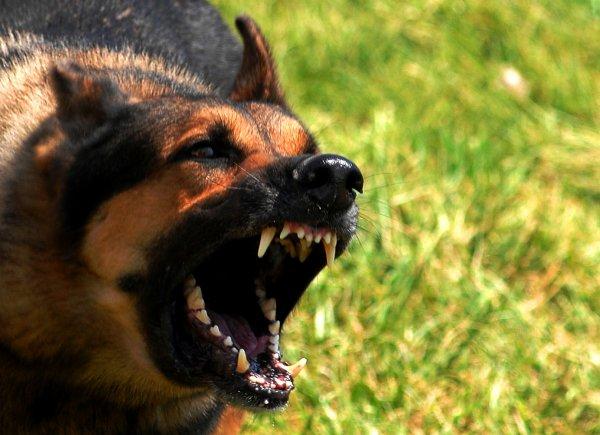 Во Флориде домашние собаки загрызли двухлетнего ребенка